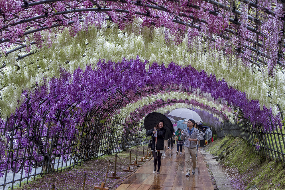 Day 1 kawachi fuji garden miyajima come travel with us Wisteria flower tunnel path in japan