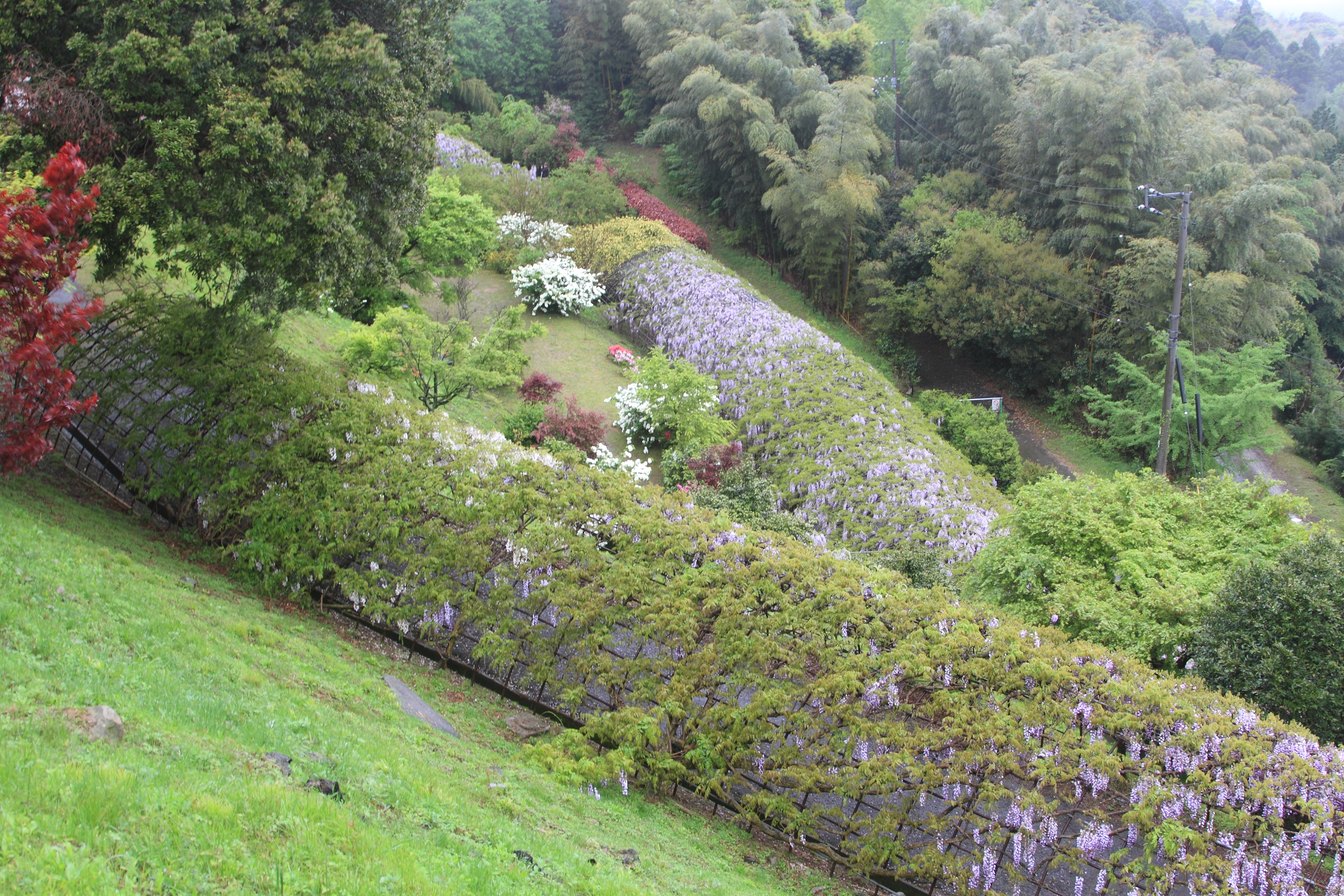 Top view of the two Wisteria flower tunnels