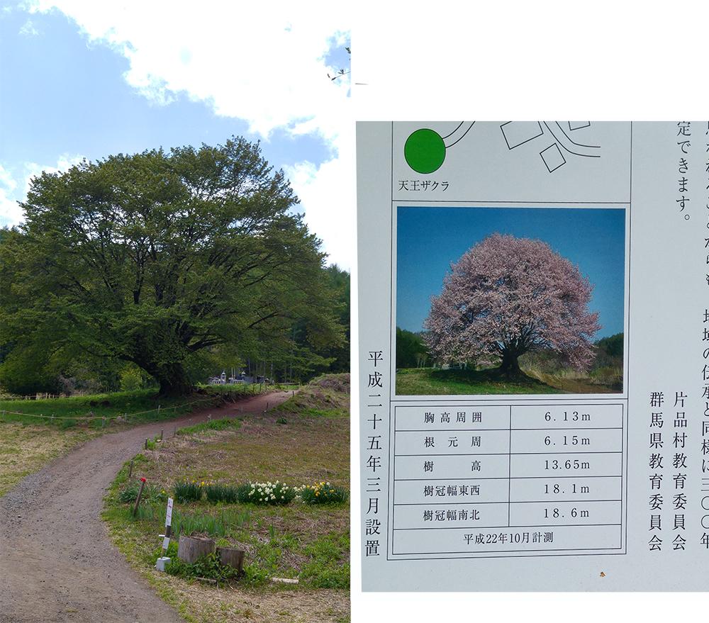 TennoZakura