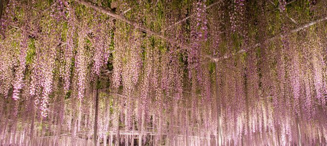 Day 11: Hitachi Seaside Park and Ashikaga Flower Park