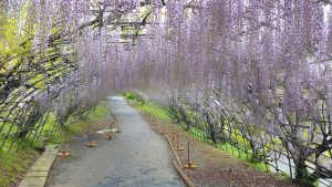 Wisteria Tunnel 1