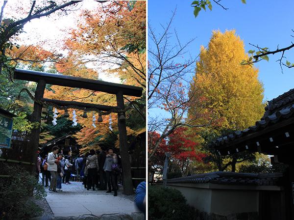 Torii Gate of Nonomiya Shrine A beautiful Ginkgo Tree