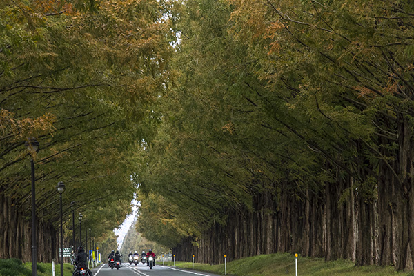 Metasequoia Trees lined both sides of the road