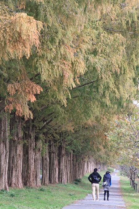 Romantic Path beside the metasequoia trees