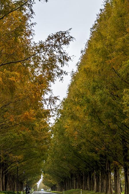 Metasequoia road