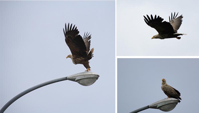 Eagle sightings