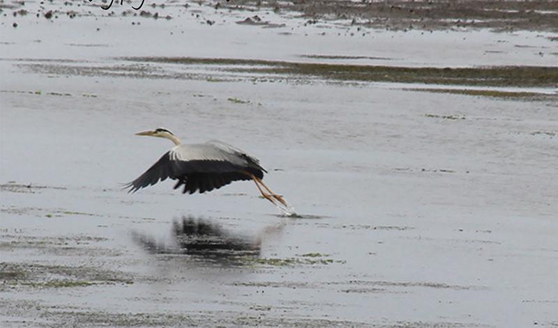 Heron taking flight on Lake Notoro