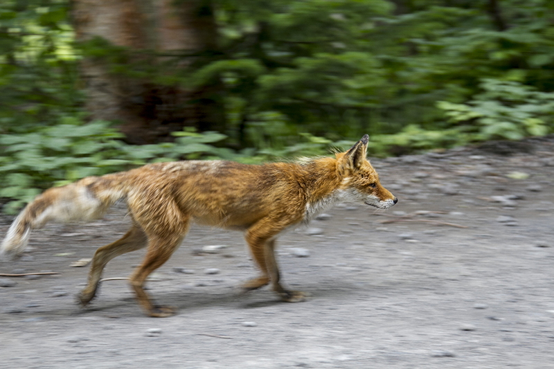 Red fox walking on the road