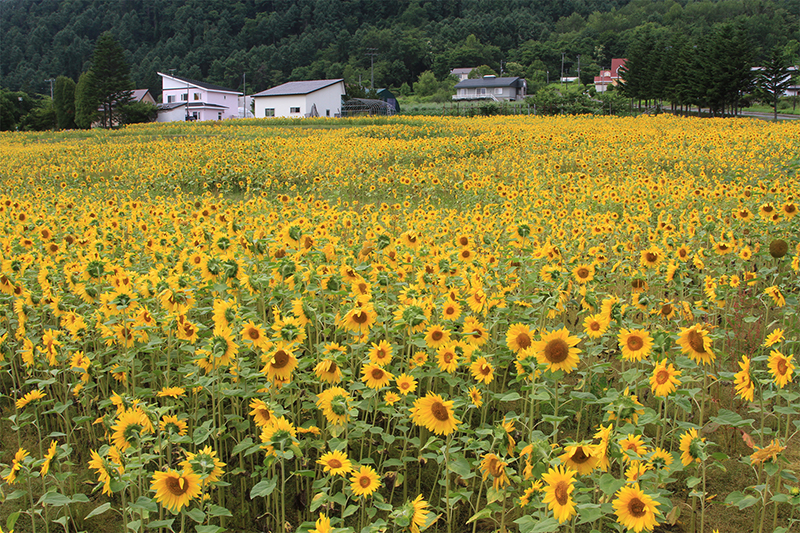 Sunflower field at Lake Toya (co-ordinates 42.557948, 140.854931)