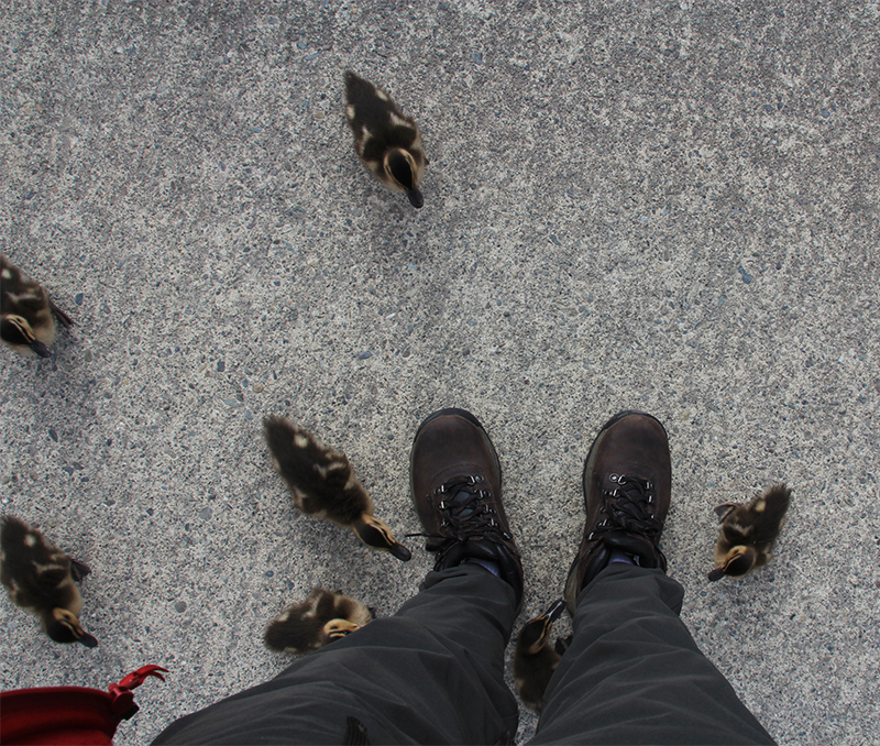 These ducklings were attacking my shoe laces!