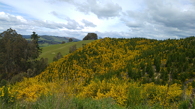 Hills of yellow flowers