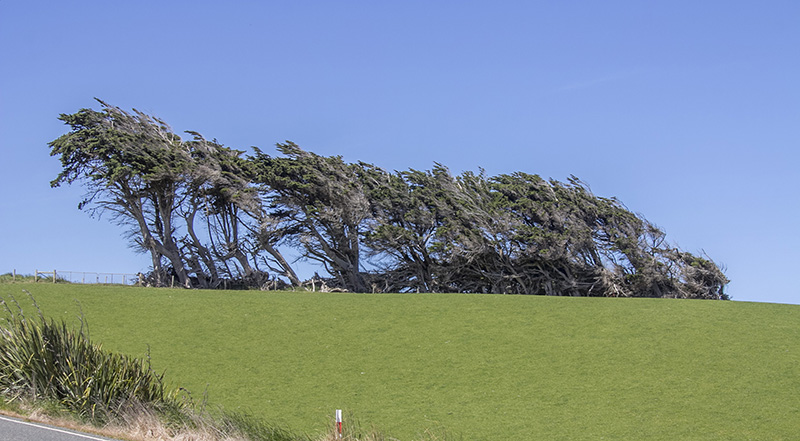 Wind blown tree at Slope Point the southern most end of South Island
