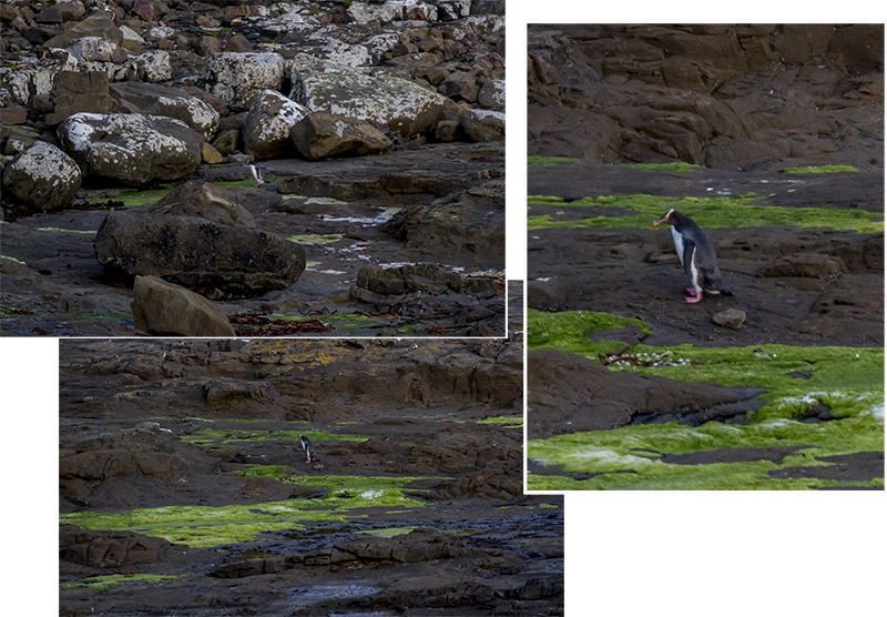 Yellow eyes penguin at Curio Bay returning to nest