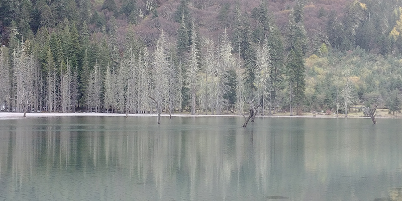 "Silvery, ""icy"" looking trees across the lake"