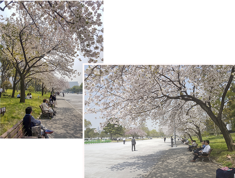 Short stretch of cherry blossom trees at the outer edge of Chiyoda Palace Park