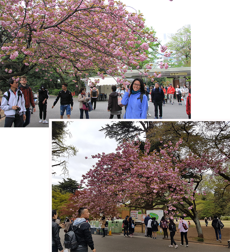 Cherry Blossom in Shinjuku Gyoen