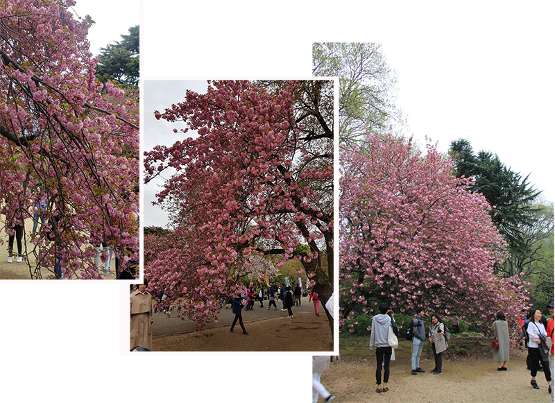 More cherry blossom trees in center of the garden