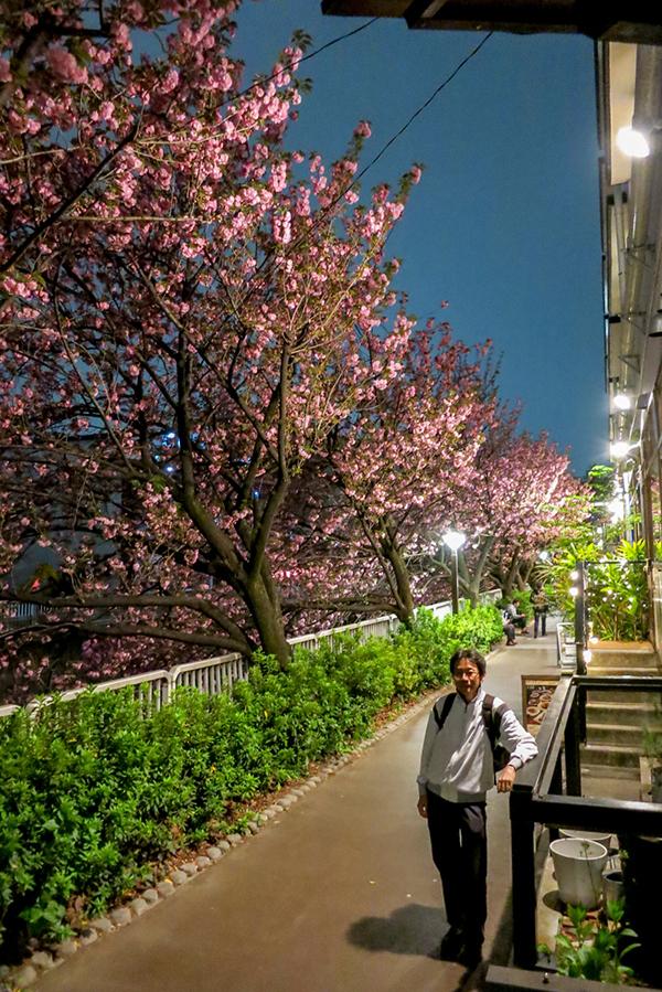Row of beautiful cherry blossom trees along Meguro River