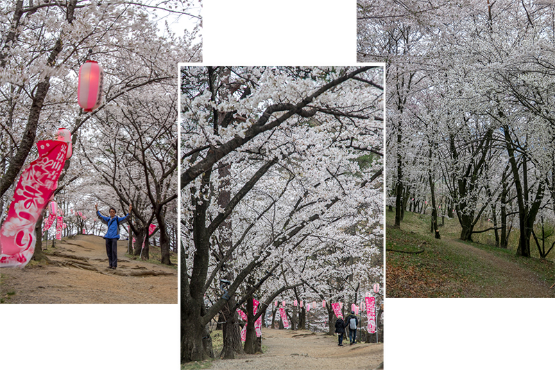 Under a canopy of cherry blossom at Koboyama