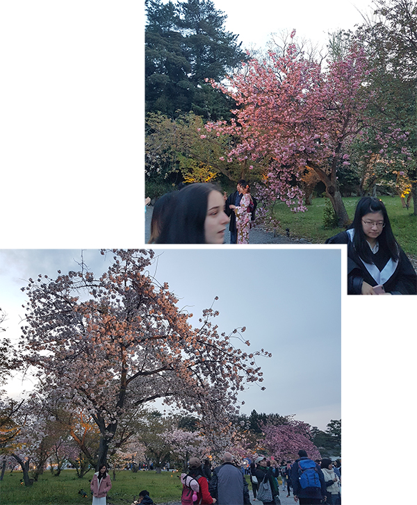 Cherry trees in Nijo Castle Park