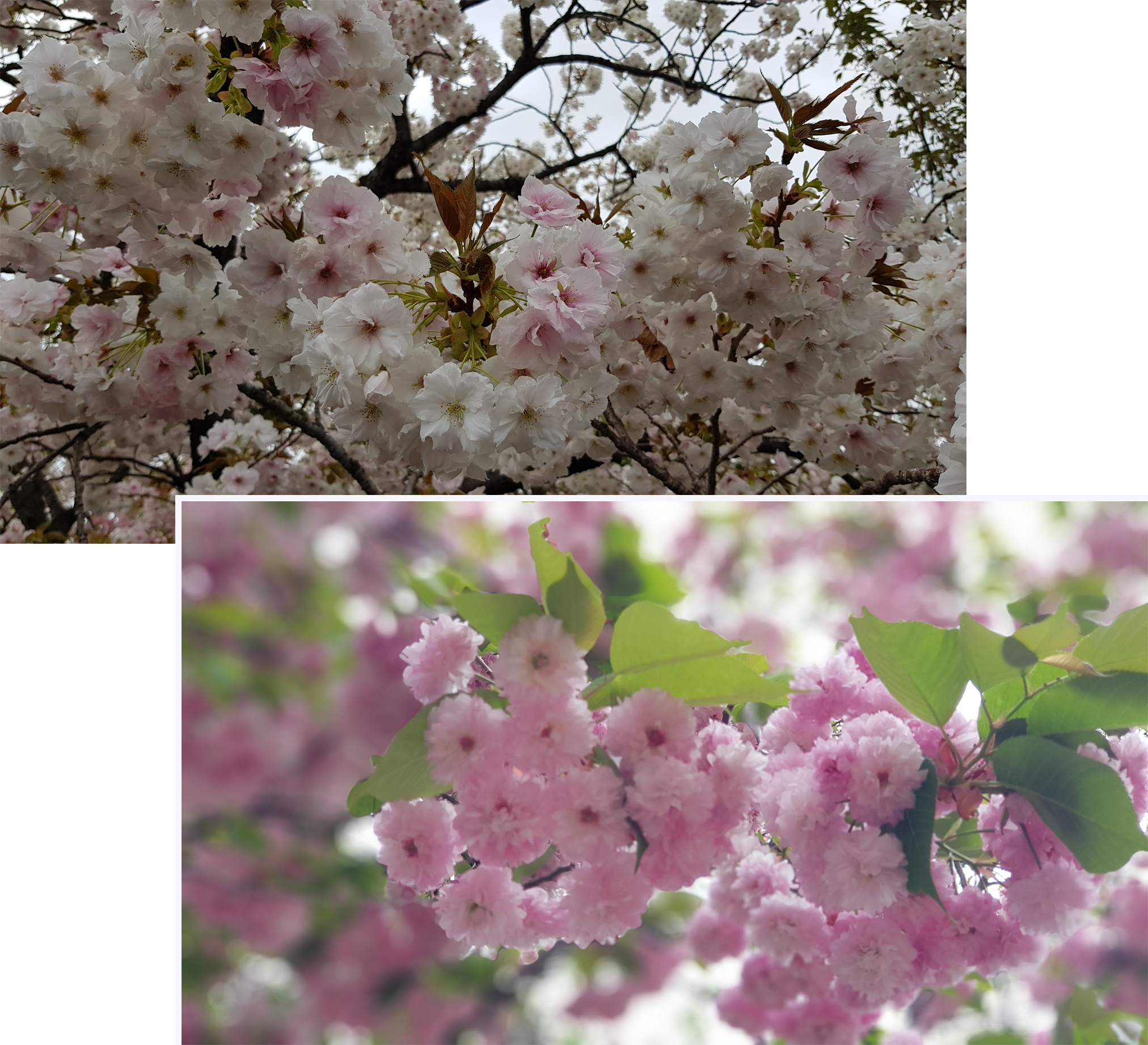 Different varieties of cherry blossom in Osaka Mint