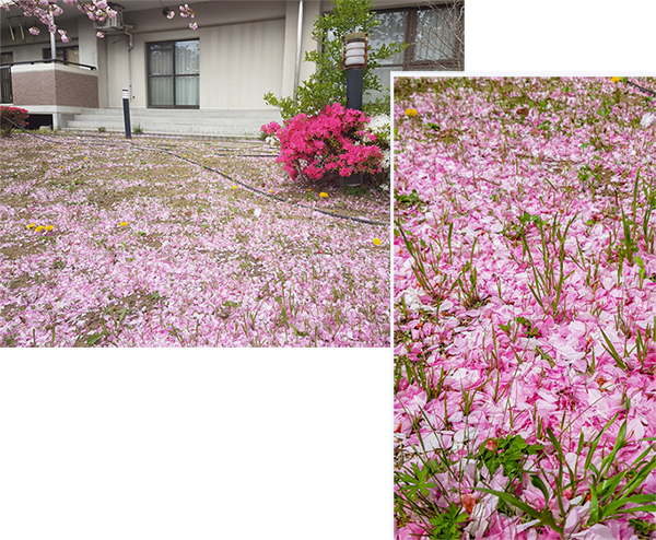 Pink petals everywhere