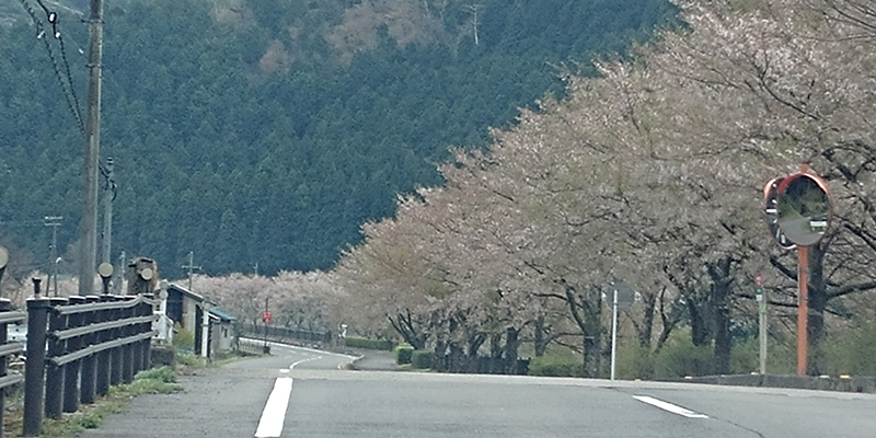 A stretch of cherry trees with light pink blossom