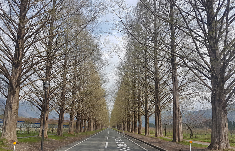 Makino Picland Metasequoia Road