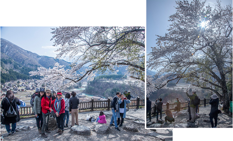 Cherry trees and Gassho Houses (mapC: 549 049 129*47 co-ord: 36.262957, 136.908384)