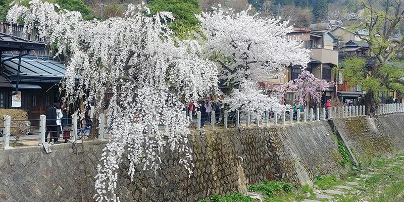 Cherry Blossom along Miyagawa river bank near Hie Shrine