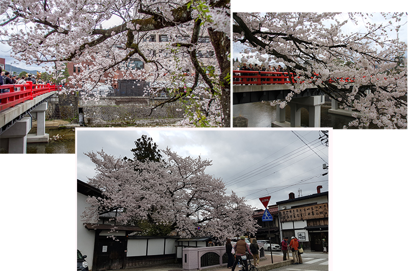 The cherry trees in Takayama were in full bloom