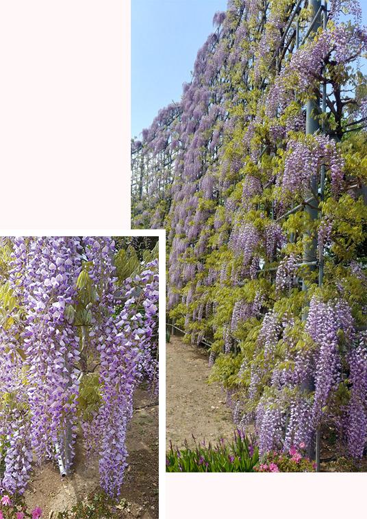 Wall of purple wisteria