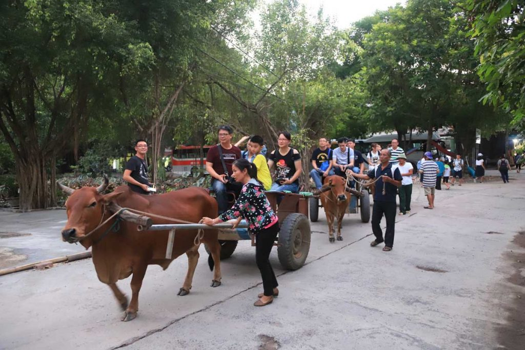 Buffalo rides for tourists