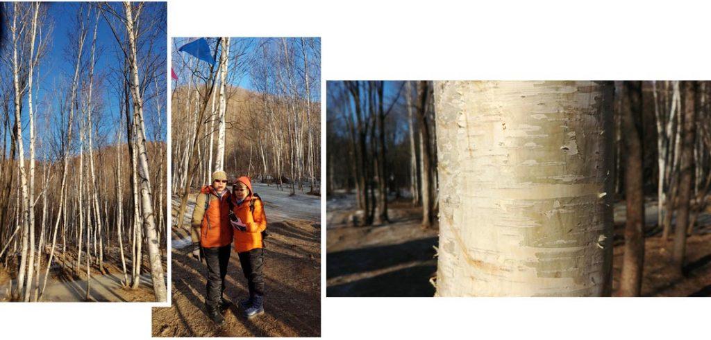Birch trees forest in Yabuli