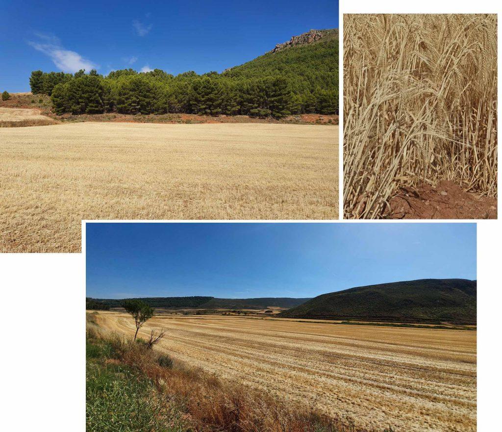 Spain golden crop