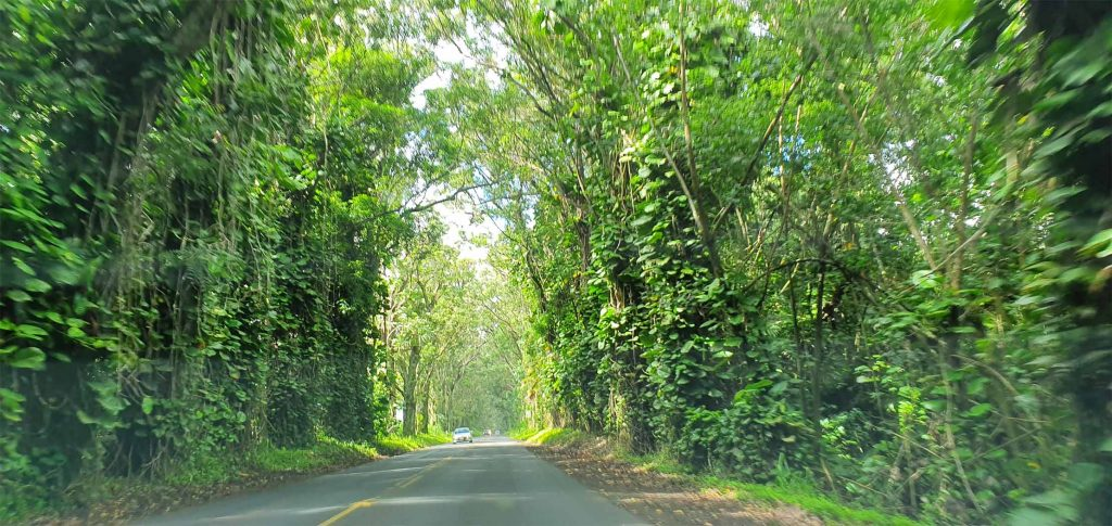 tree tunnel road to Koloa Town