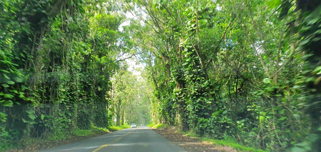 tree tunnel road to Koloa Town