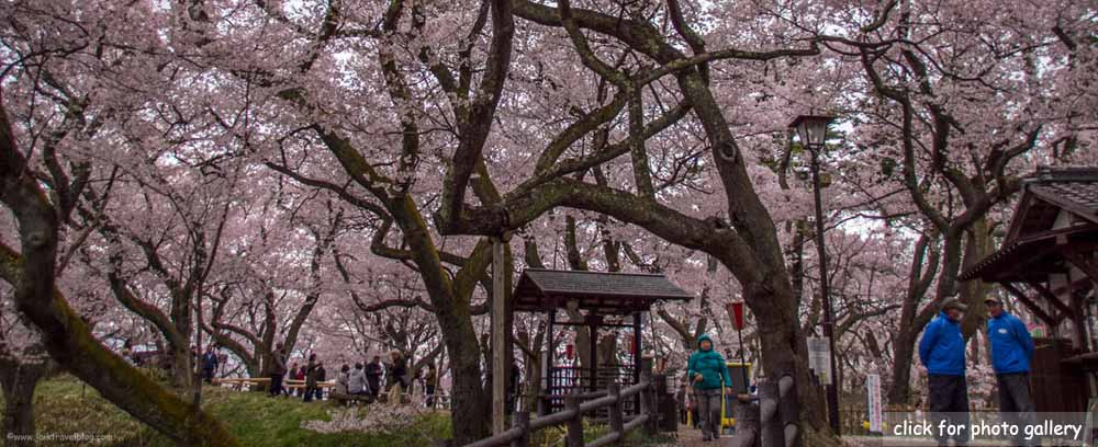Japan : Chasing Cherry Blossom