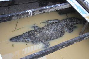 Floating Crocodile Farm
