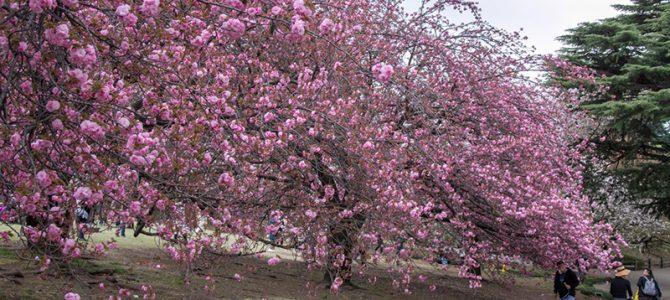 Day 2: Tokyo Cherry Blossom – Inokashira, Shinjuku, Meguro
